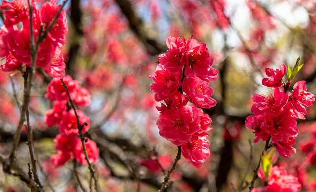 Blossom in North Japan