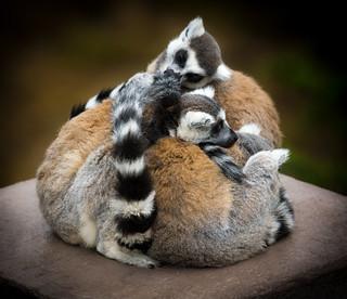 Pile of Ring-tailed Lemurs (Lemur catta) | by Wade Tregaskis