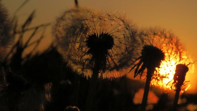 Dandelion Fractal