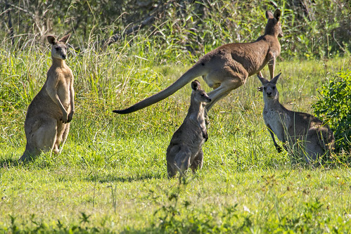 Eastern Grey Kangaroo (1) | by bidkev1 and son (see profile)