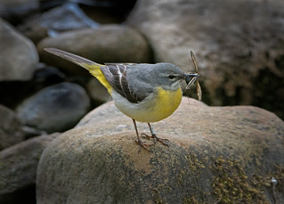 Grey Wagtail 3 | by Richard Towell