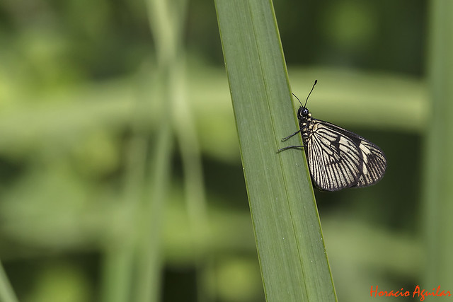 Mariposa Peresoza Común