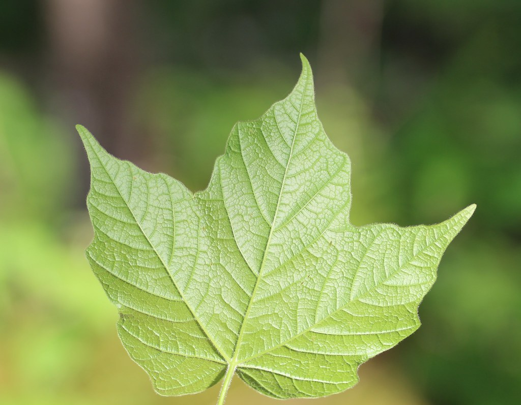 Black Maple Leaf Underside Acer Nigrum Acer Saccharum Ssp Flickr