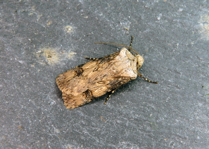 73.325 Shuttle-shaped Dart - Agrotis puta