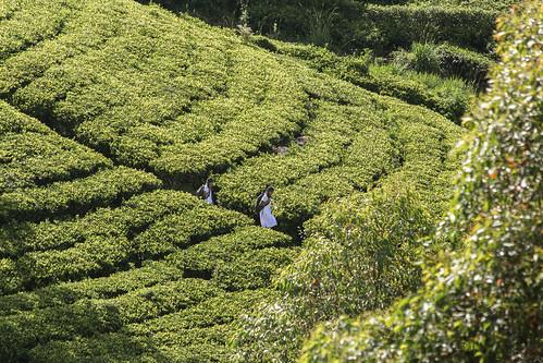 srilanka dambatenneteaplantation dambatenne haputale canon asia tea green nature landscape