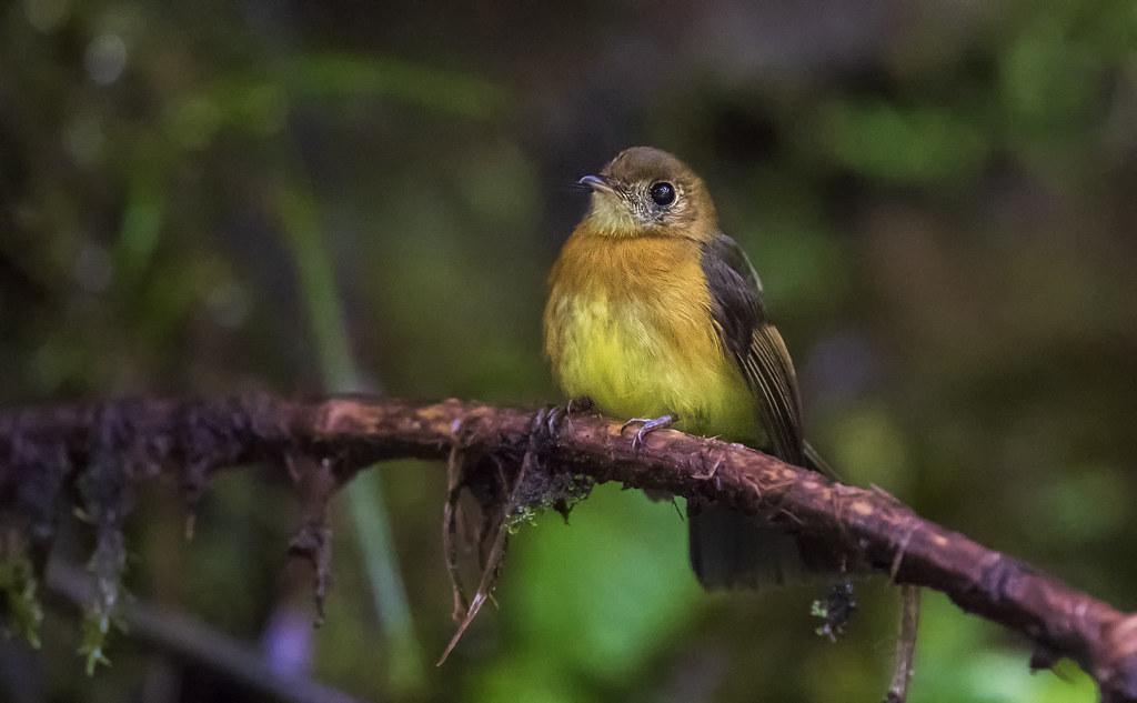 Myiobius barbatus - Whiskered Flycatcher - Moscareta Barbada - Atrapamoscas Bigotudo 06