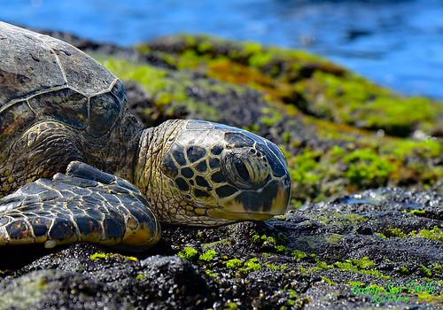 water sea rocks tropical turtle outdoors island nikon ocean hawaii nature landscape shoreline wildlife green beach reptile