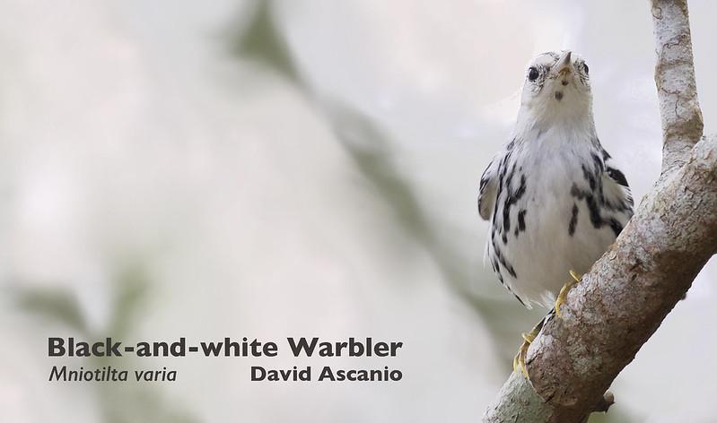 Black-and-white Warbler, Mniotilta varia_199A2885