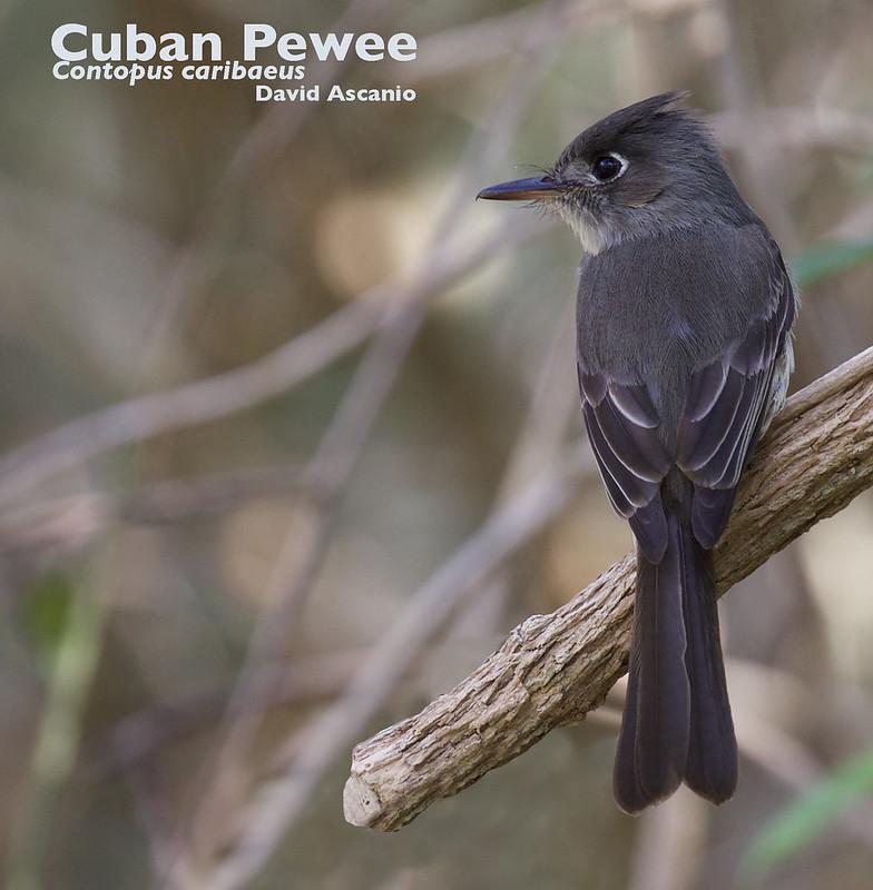 Cuban Pewee, Contopus caribaeus_199A2862
