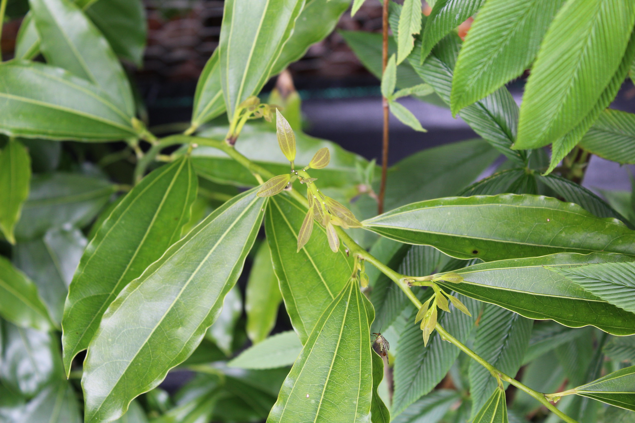 Cocculus laurifolius