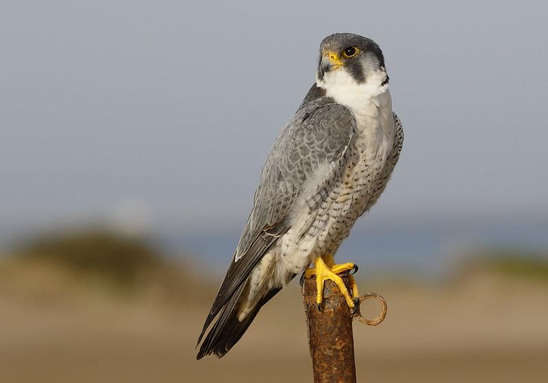 A very obliging Peregrine Falcon