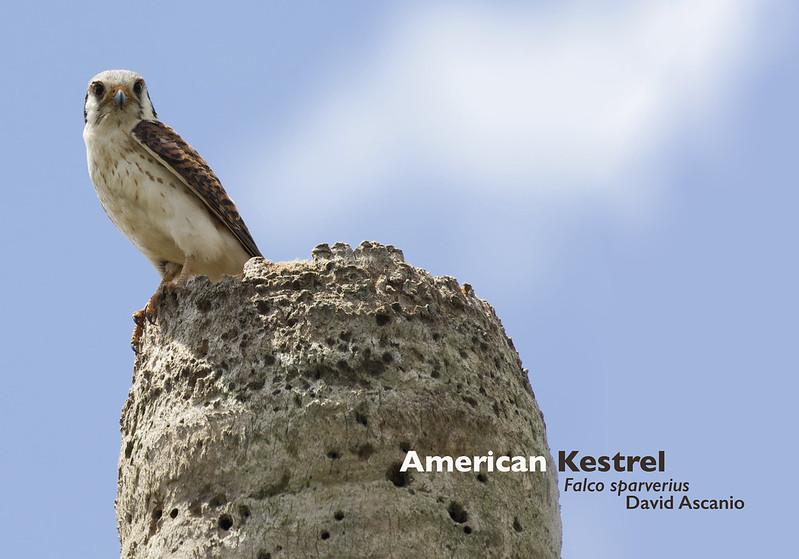 American Kestrel, Falco sparverius_Ascanio. 199A4349