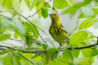 Cape May Warbler   by Nature as Art Photography