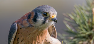 American kestrel portrait close up-1 | by Evelakes67