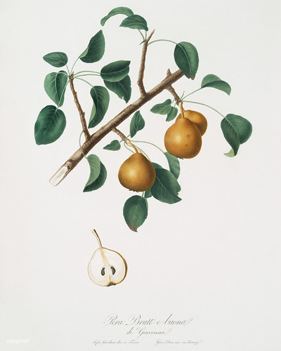 Seckel pear (Pyrus × serrulata) from Pomona Italiana (1817 - 1839) by Giorgio Gallesio (1772-1839). | by Free Public Domain Illustrations by rawpixel