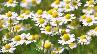 Chamomile Edible Flowers to Flavour your Food & Improve your Health (gardeningflavours.com) | by pardeeppatel