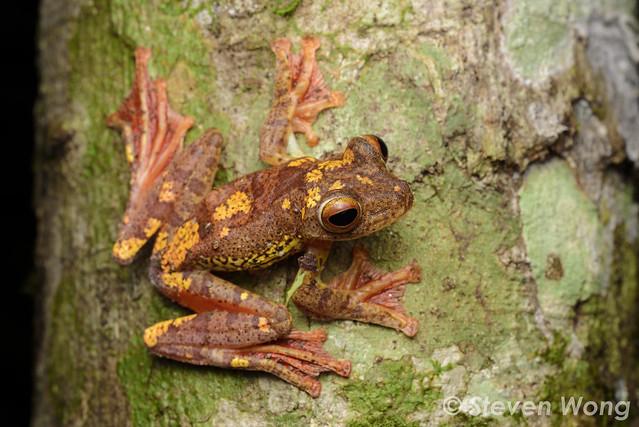 Harlequin Flying Tree Frog (Rhacophorus pardalis)