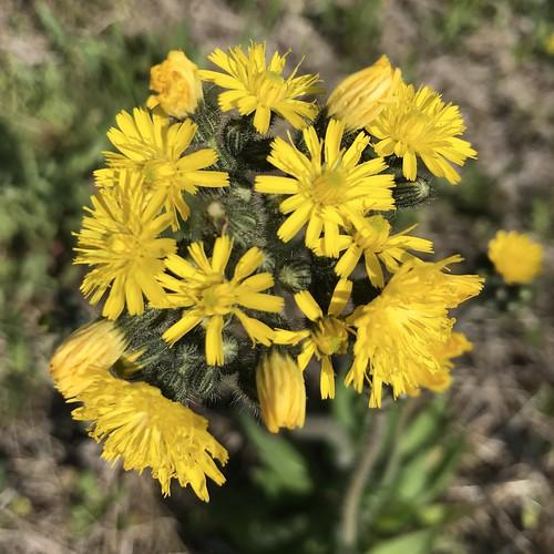 nature wildflower yellow flower haywoodcounty