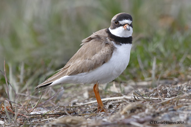 Semipalmated Plover (Breeding Adult)
