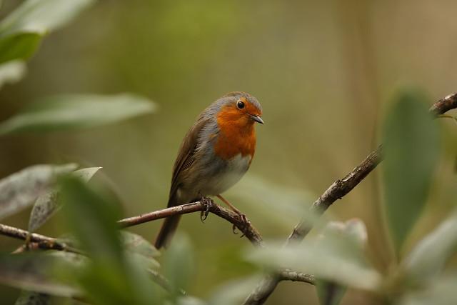 Rob the Robin