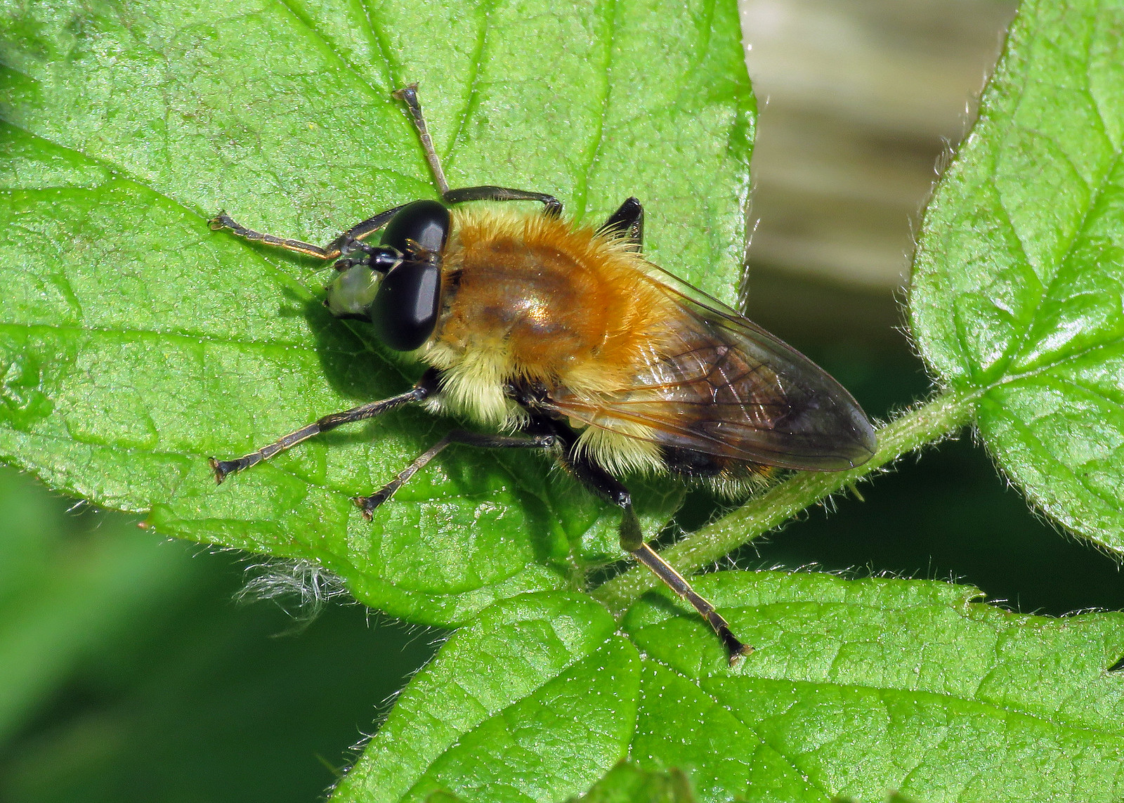 Criorhina floccosa