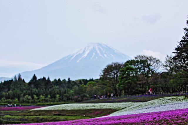 Fuji Shibazakura(Moss Phlox) Fastival