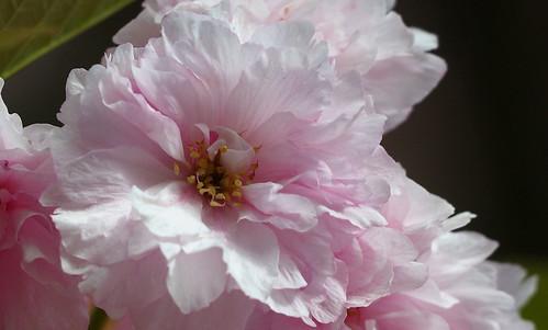 pentax k3 vbd hdpentaxda55300mmf4563edplmwrre ct connecticut flower pink newengland cherryblossom 2018 spring2018 handheld manualexposure trumbull