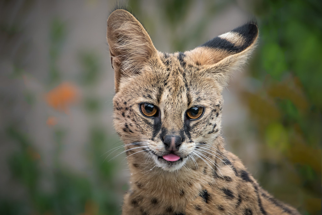 Cute Serval | One year old female serval (Leptailurus serval… | Flickr