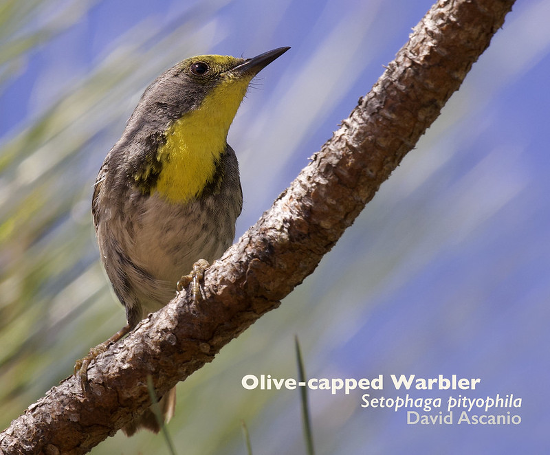 Olive-capped Warbler, Setophaga pityophila_199A5485