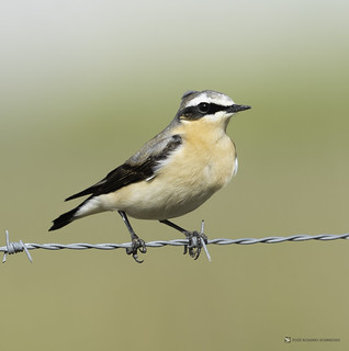 Oenanthe oenanthe ( Northern Wheatear )Chasco Cinzento | by RogerioPCRodrigues