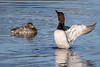 Canvasback Ducks by jrp76