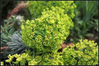 Euphorbia characias subp wulfenii (1)   by Neira Magic'B