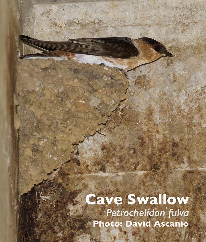 Cave Swallow, Petrochelidon fulva_199A0685