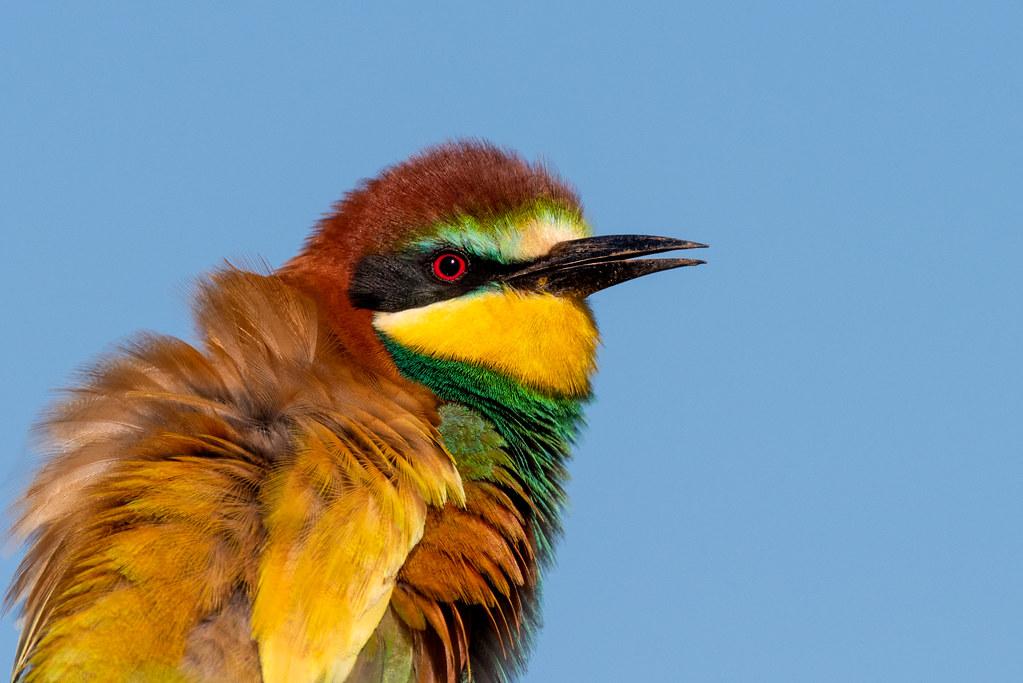 European Bee Eater - Abelharuco - Merops apiaster
