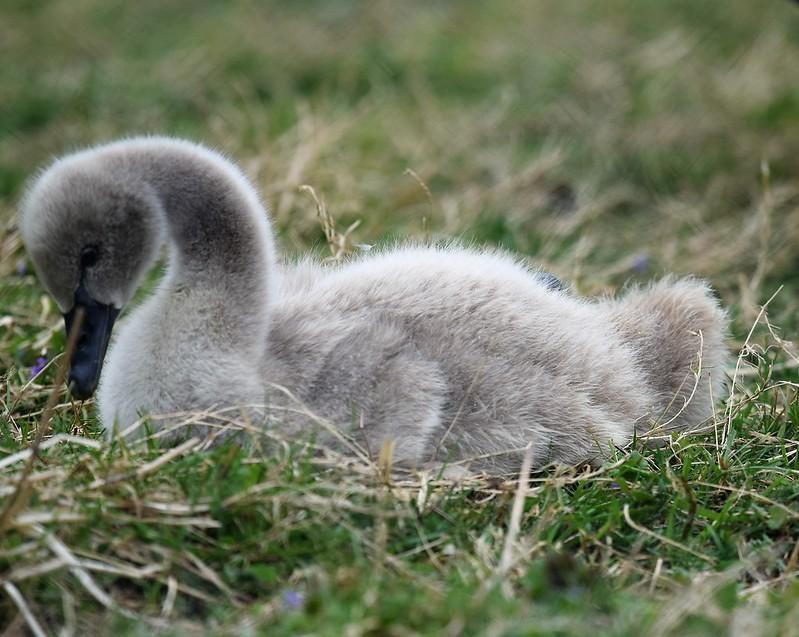 Swans 02.05 (9)