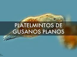 Platelmintos Los Platelmintos Son Seres Pluricelulares C