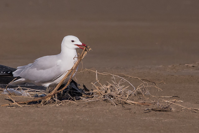 Goéland d'Audouin - Larus audouinii - Audouin's gull - Gavina corsa