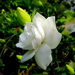 ~ 梔子花 ~..學名..Gardenia jasminoides Ellis. 別名:山黃梔 、山梔、 黃枝子、梔子、玉堂春(園藝引進 重瓣品種)。茜草科的小喬木(原生種,單瓣花)或矮灌木(外來種,重瓣花)。 原產地:分布在台灣、中國、日本、越南等熱帶、亞熱帶地區。 花初開為純白色,一至兩天,第三天起轉為黃色到花謝。花香有蜜糖 芬芳,討人喜歡。種子入藥,也是天然黃色染料。