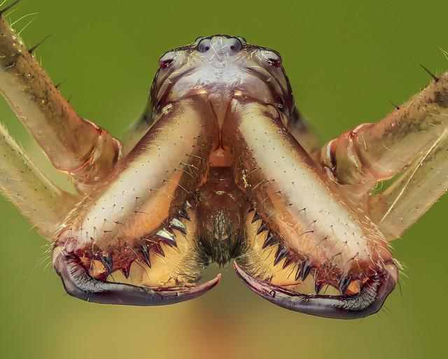 Lưỡng hái tử thần 😇😇😇A Spider (nikon CF plan 5x)