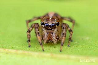 Jumping spider (Parabathippus sp.) - DSC_2992