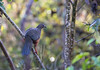 Sickle Winged Guan (Chamaepetes goudotii) by piazzi1969