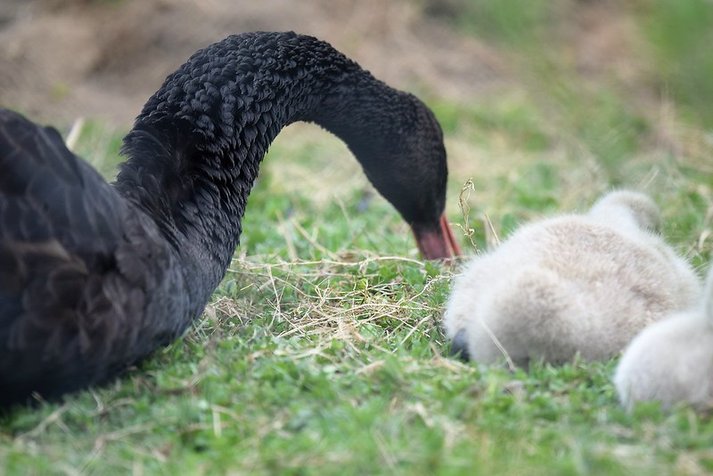 Swans 02.05 (15)