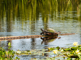 "Turtle ""planking"" 