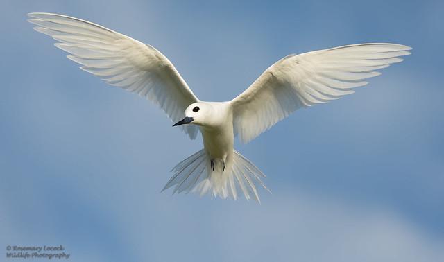 Fairy Tern - Gygis alba