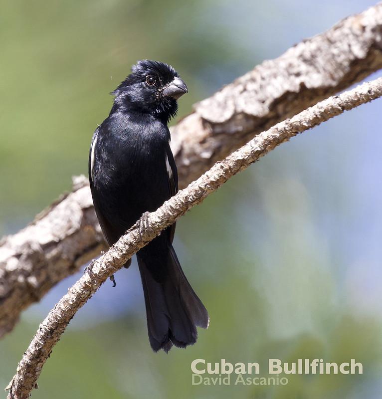 Cuban Bullfinch, Melopyrrha nigra_199A5436