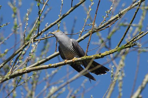 bird wild wildlife nature lackfordlakes swt suffolk cuckoo cuculuscanorus
