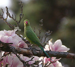 Rose-ringed parakeet on Magnolia