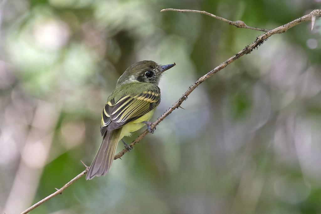 Sepia-capped Flycatcher (Leptopogon amaurocephalus)