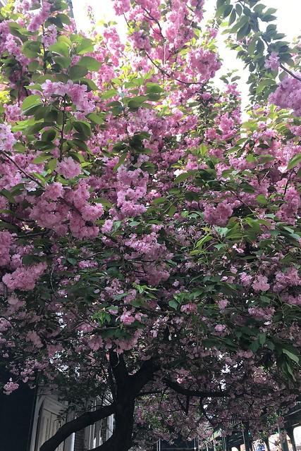 土, 2018-05-05 08:12 - Kanzan Cherry 八重桜カンザン