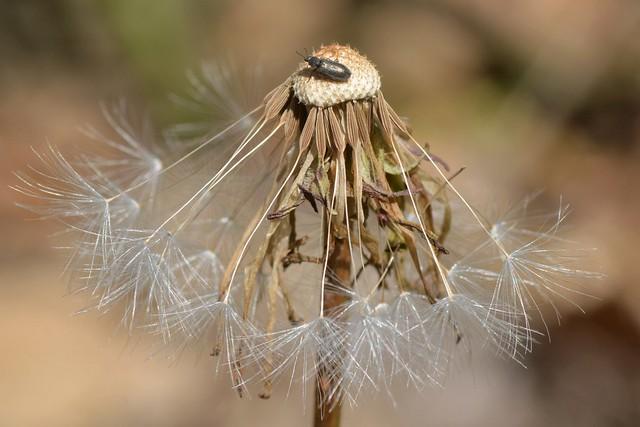 Beetle on Large-flowered Mountain-dandelion